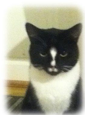 engelsk korthåret katt